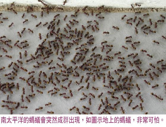 南太平洋的蚂蚁